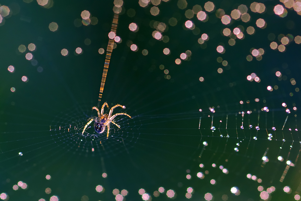 "photo ""Constellation Spider"" tags: nature, macro and close-up, insect"