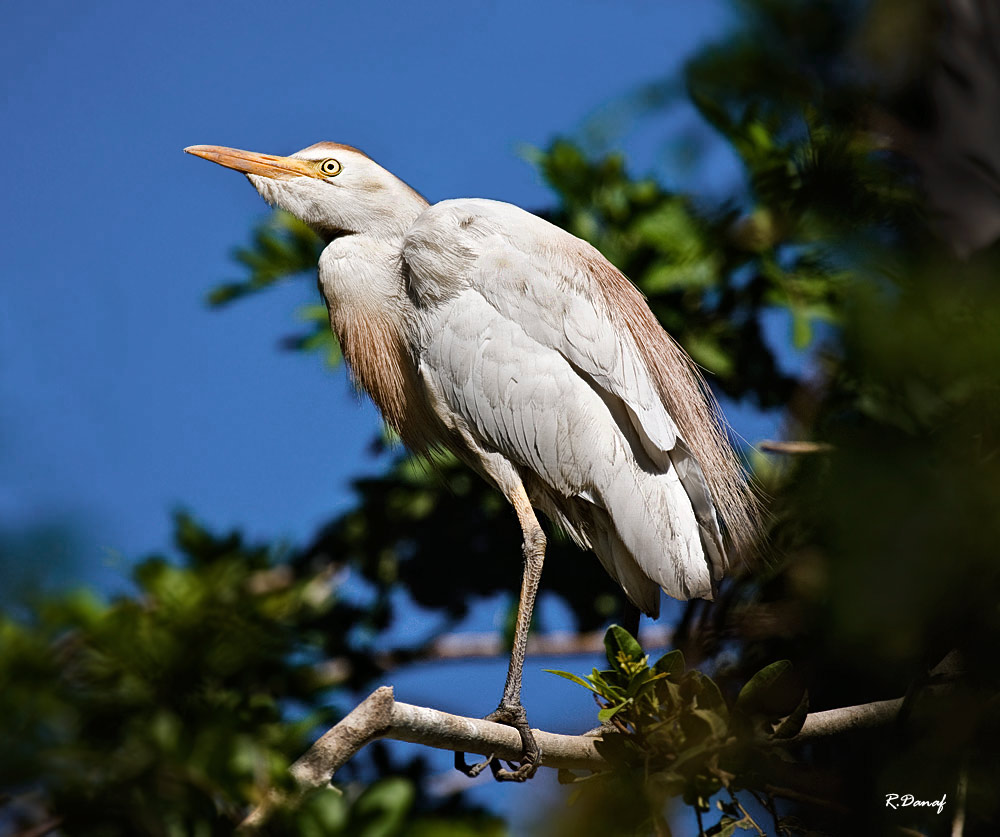 "photo ""Cattle egret"" tags: travel, nature, Africa, pets/farm animals"