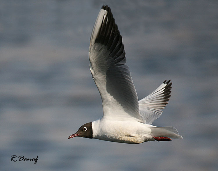 "photo ""Flying gull"" tags: travel, nature, Africa, wild animals"