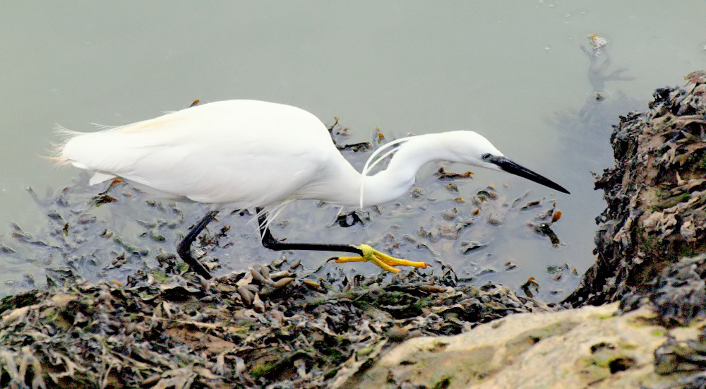 "photo """"The White Heron Hunter..."""" tags: nature, wild animals"
