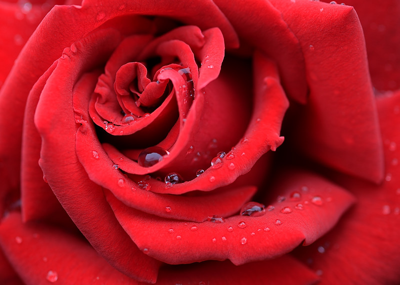 "photo ""Red rose"" tags: nature, flowers"