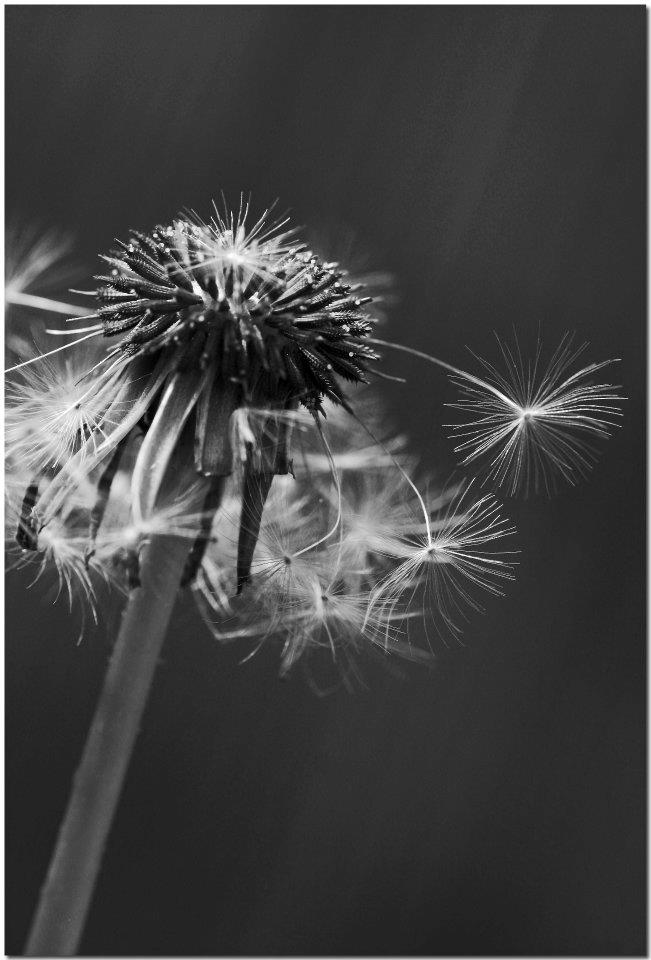 "photo ""In The Wind"" tags: black&white, nature, flowers"