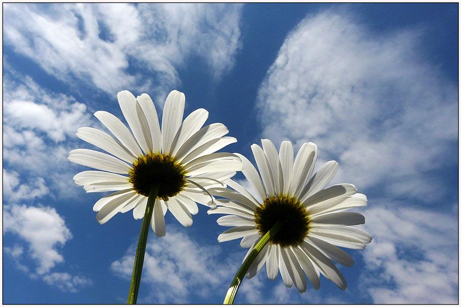 "фото ""To heaven"" метки: , весна, небо, облака, цветы"
