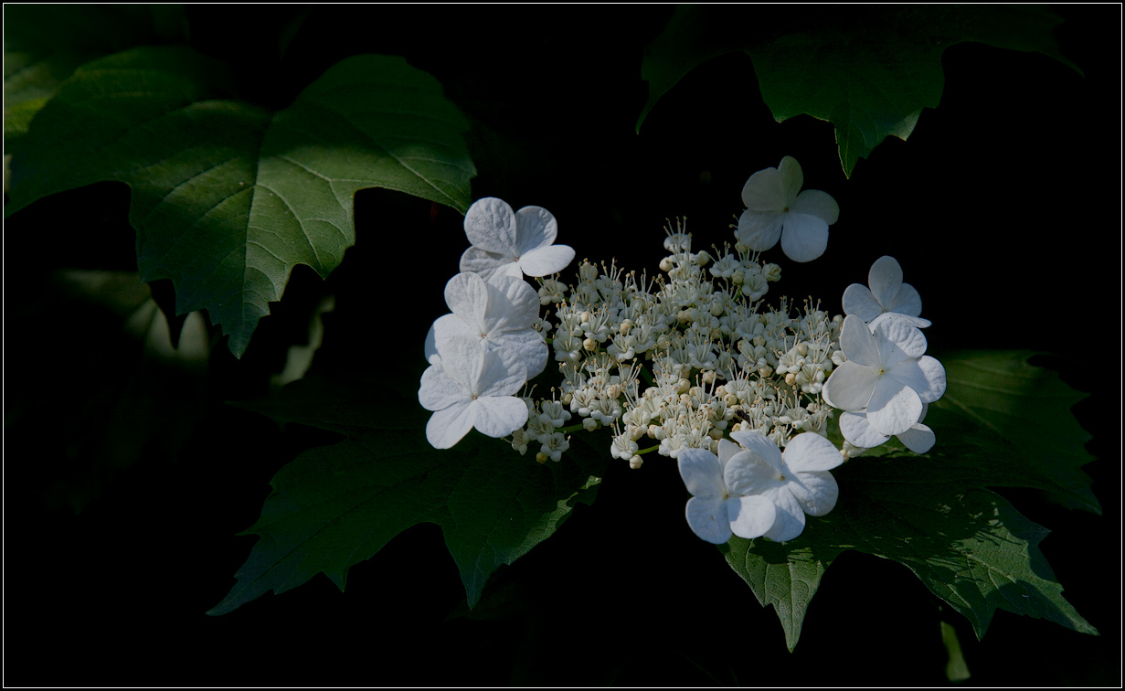 "photo ""viburnum flowers"" tags: nature, flowers"