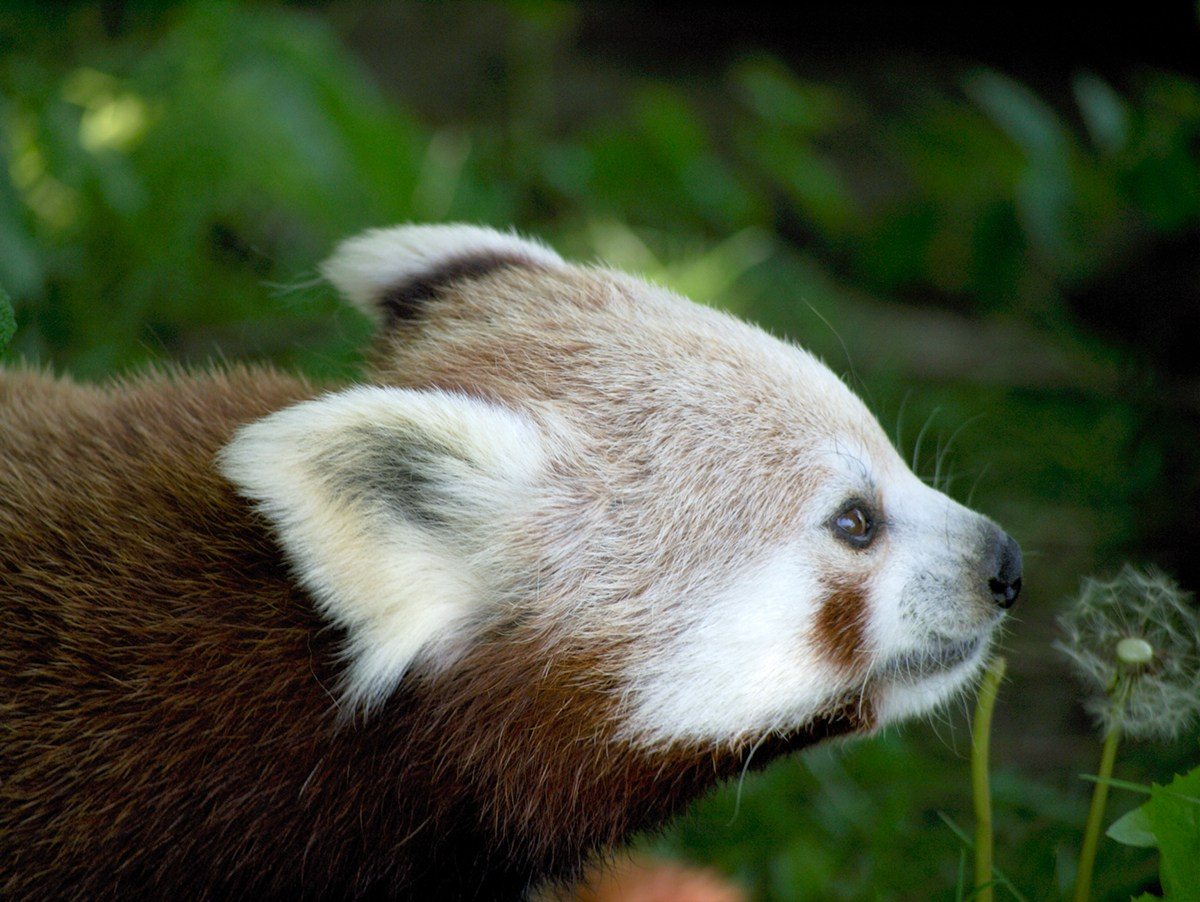 "photo ""Red Panda"" tags: nature, wild animals"