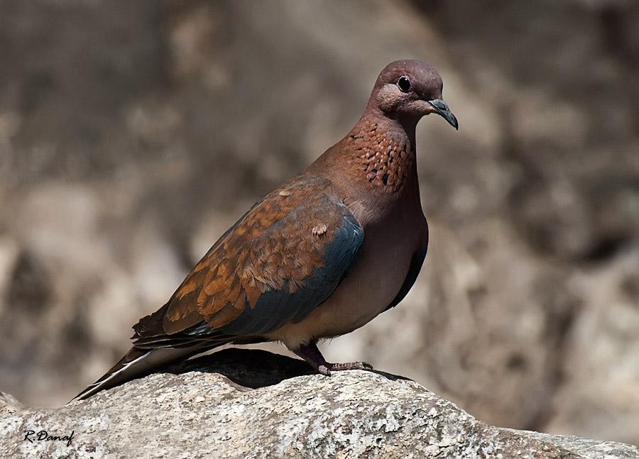 """фото """"Dove"""" метки: природа, макро и крупный план, домашние животные"""
