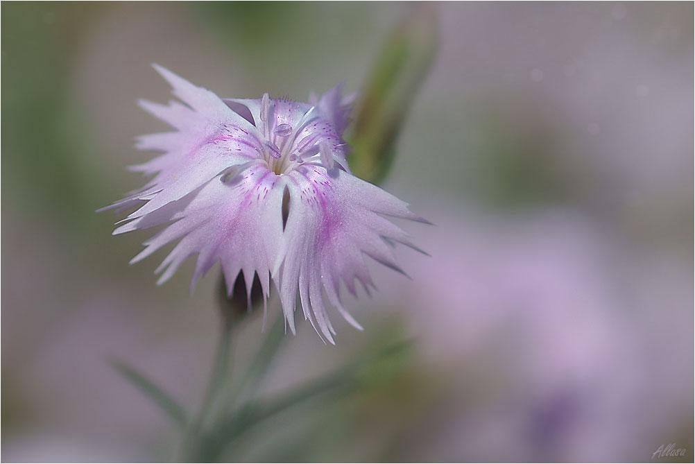 """фото """"Гвоздичка"""" метки: природа, цветы"""