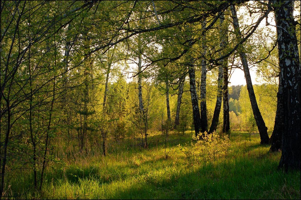 """фото """"Золотой закат"""" метки: пейзаж, лес"""