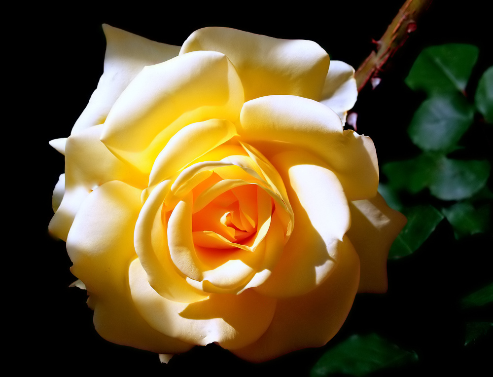 "фото """"A Yellow Rose..."""" метки: природа, цветы"