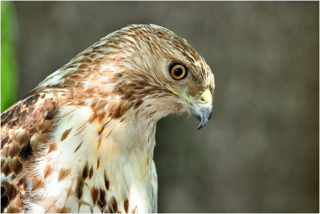 "photo ""Red-tailed hawk"" tags: nature, wild animals"
