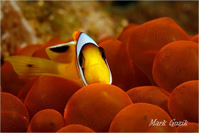 "photo ""Anemonefish"" tags: ,"