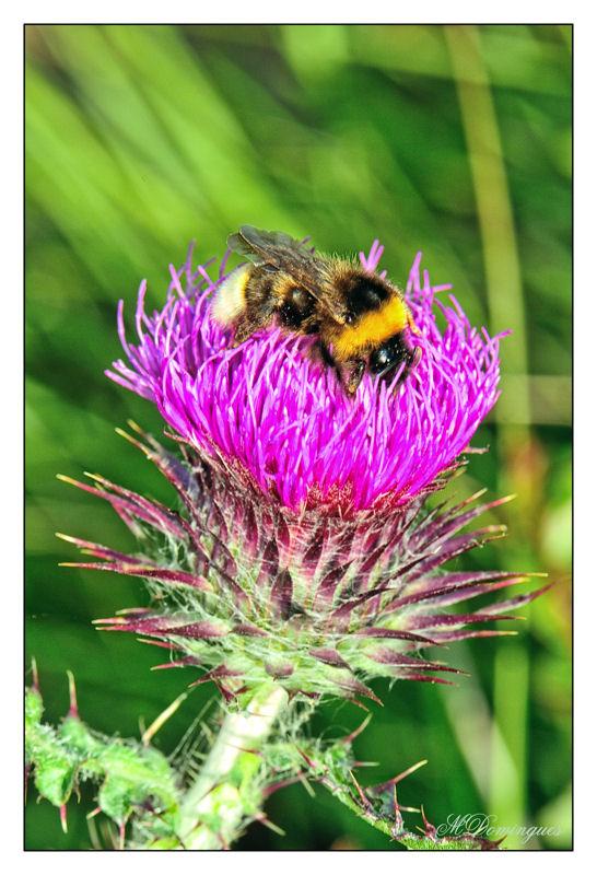 "photo ""Wild artichoke"" tags: nature, macro and close-up, flowers"