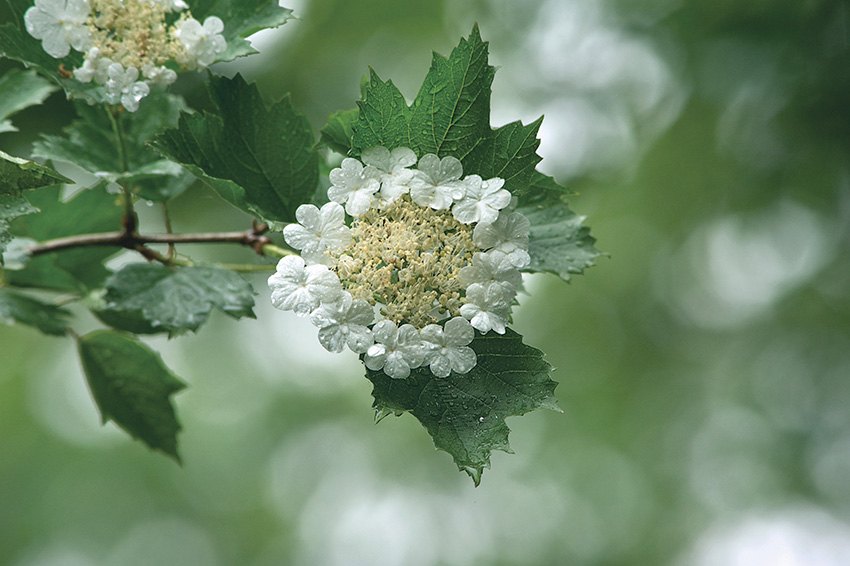 "photo ""Snowball tree"" tags: nature, flowers"