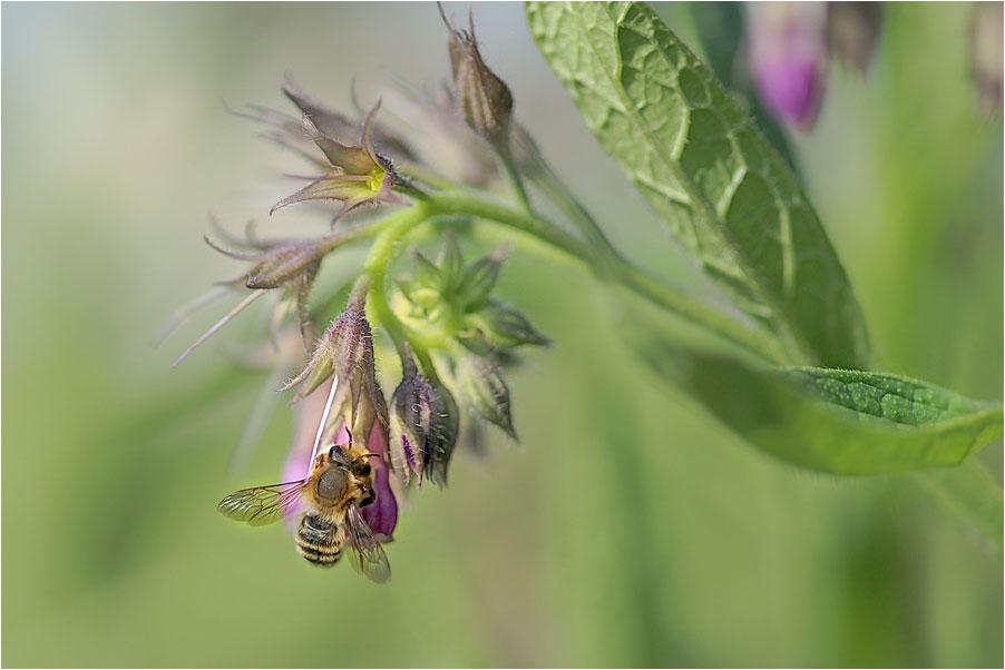 """фото """"У цветка гостила пчелка"""" метки: природа, насекомое, цветы"""