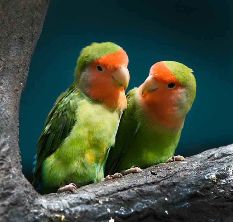 """фото """"Неразлучники"""" метки: природа, дикие животные"""