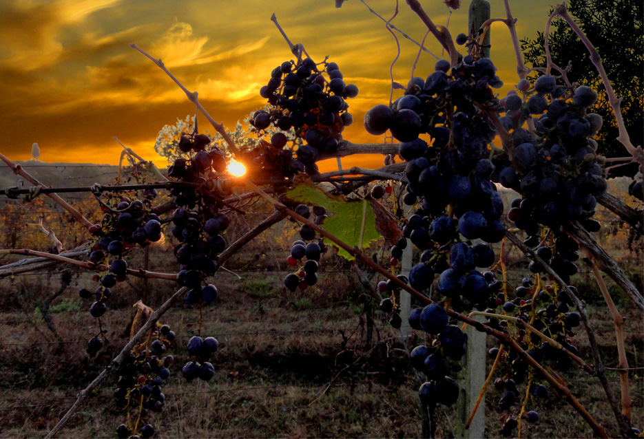 "photo ""Grapes in Toscana"" tags: landscape, nature, flowers, sunset"