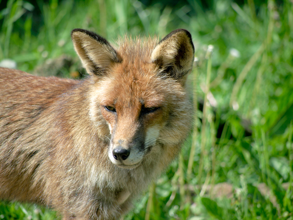 "photo ""Red Fox"" tags: nature, wild animals"