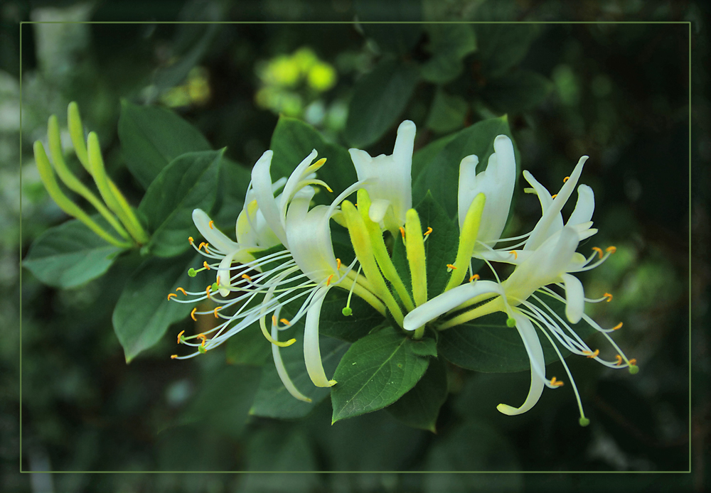 "photo ""Honeysuckle before bedtime"" tags: nature, flowers"