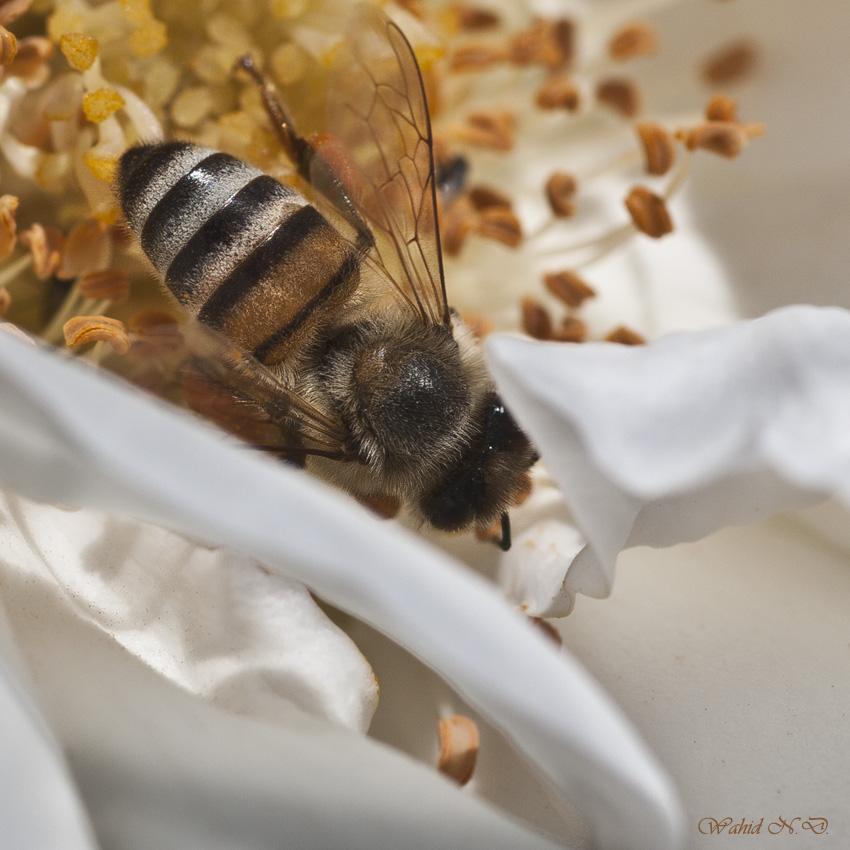 "фото ""Macro Bee"" метки: макро и крупный план,"