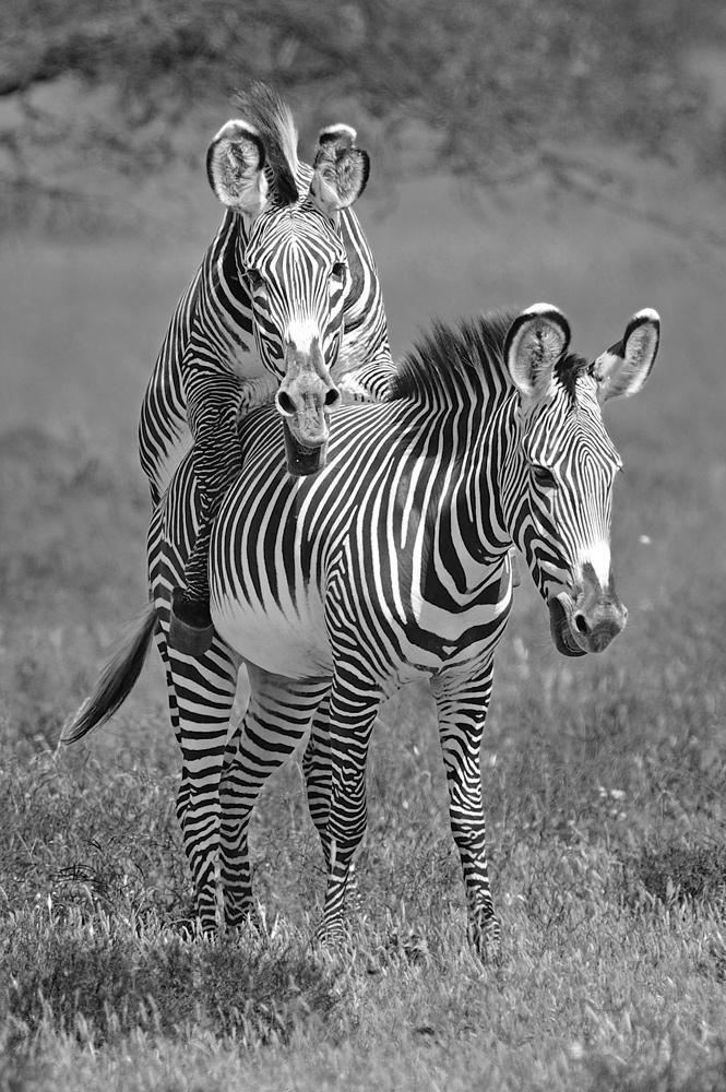 "фото ""B&W LOVE"" метки: природа, дикие животные"