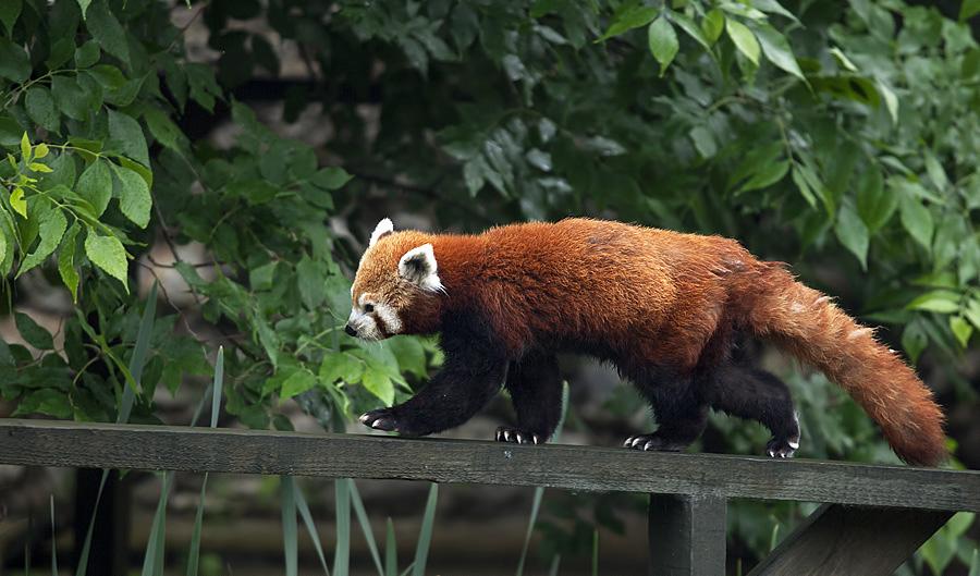"""фото """"Красная панда"""" метки: ,"""