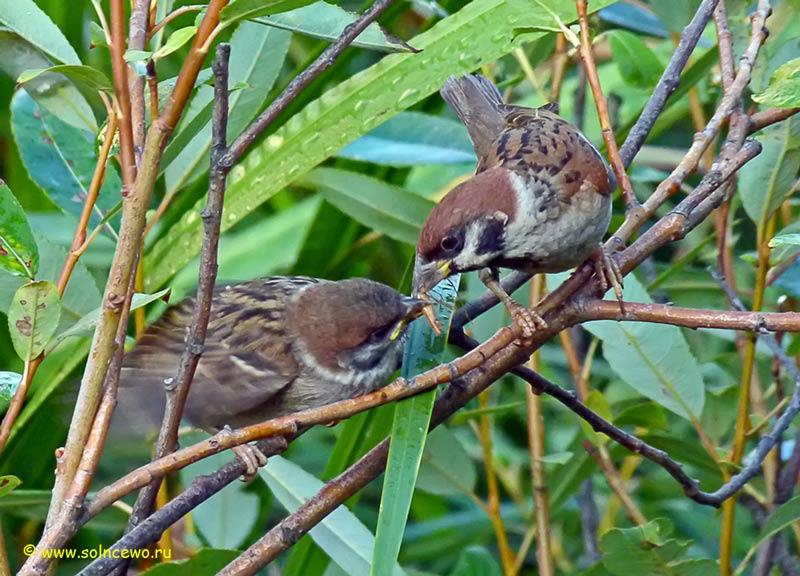 """фото """"воробей кормит птенца"""" метки: природа, дикие животные"""