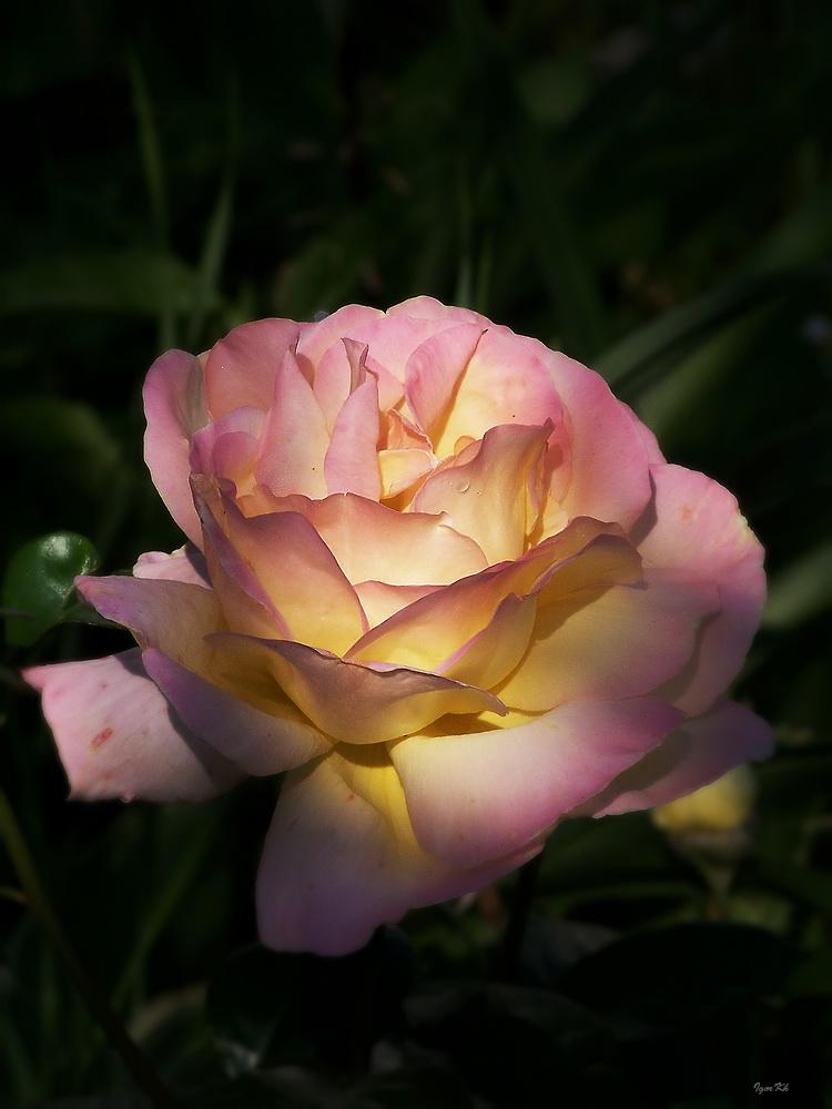"фото ""Утренняя"" метки: природа, цветы"