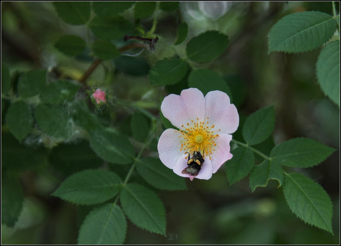 "photo ""wild rose and bee"" tags: nature, flowers, insect"