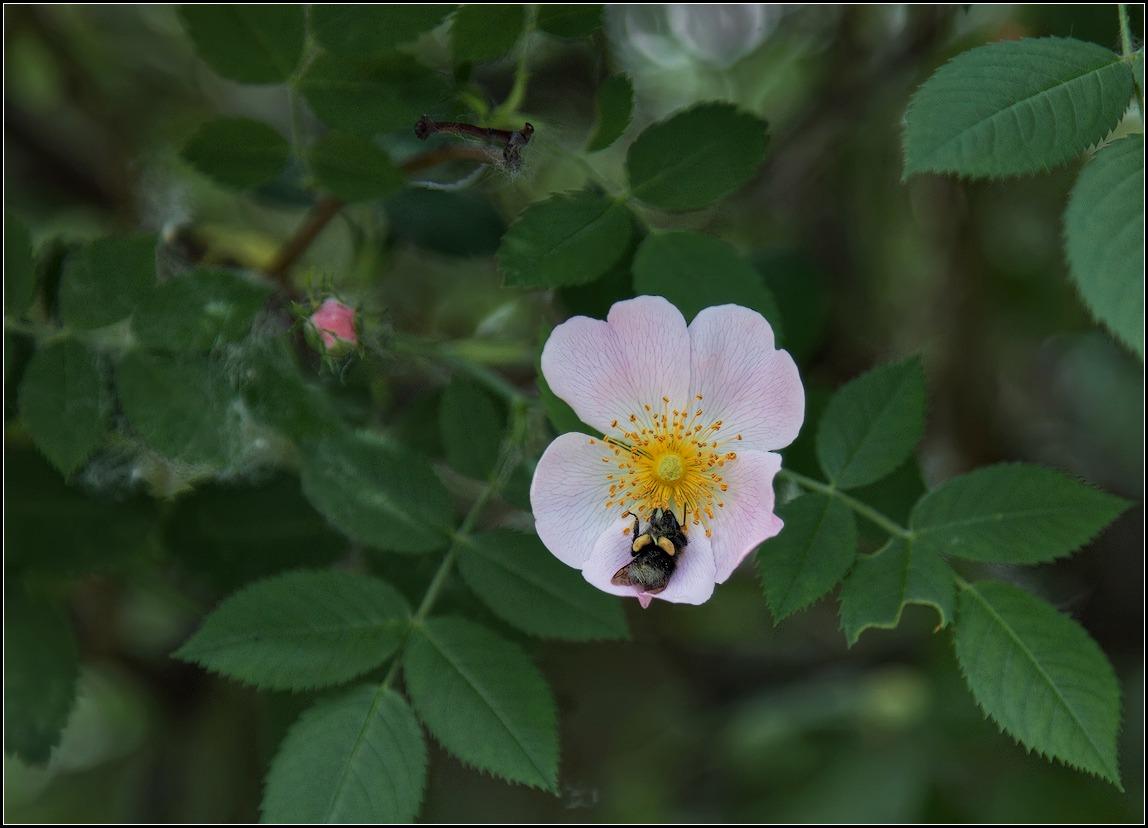 """фото """"шиповник и шмель"""" метки: природа, насекомое, цветы"""