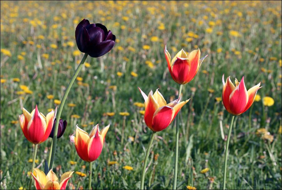 "photo ""Black tulip"" tags: nature, flowers"