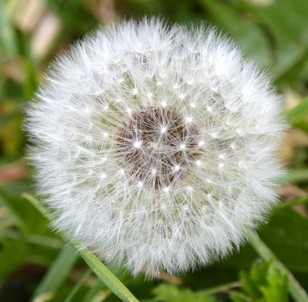 """фото """"Одуванчик"""" метки: природа, цветы"""
