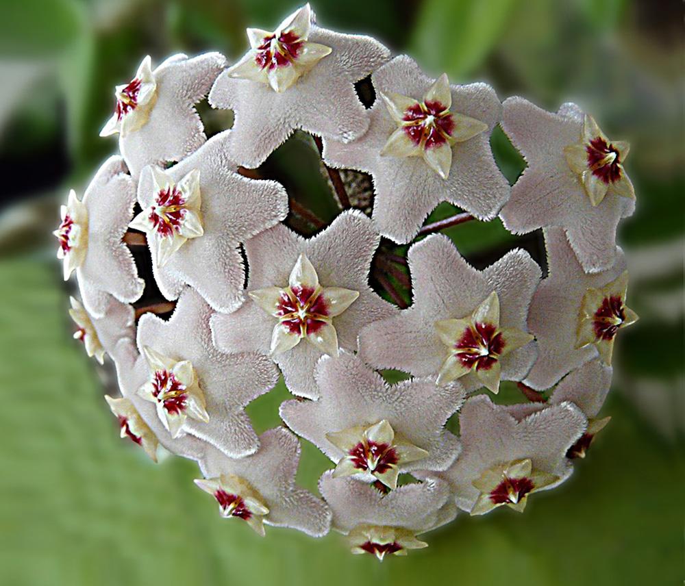 """фото """"Хойя"""" метки: природа, макро и крупный план, цветы"""