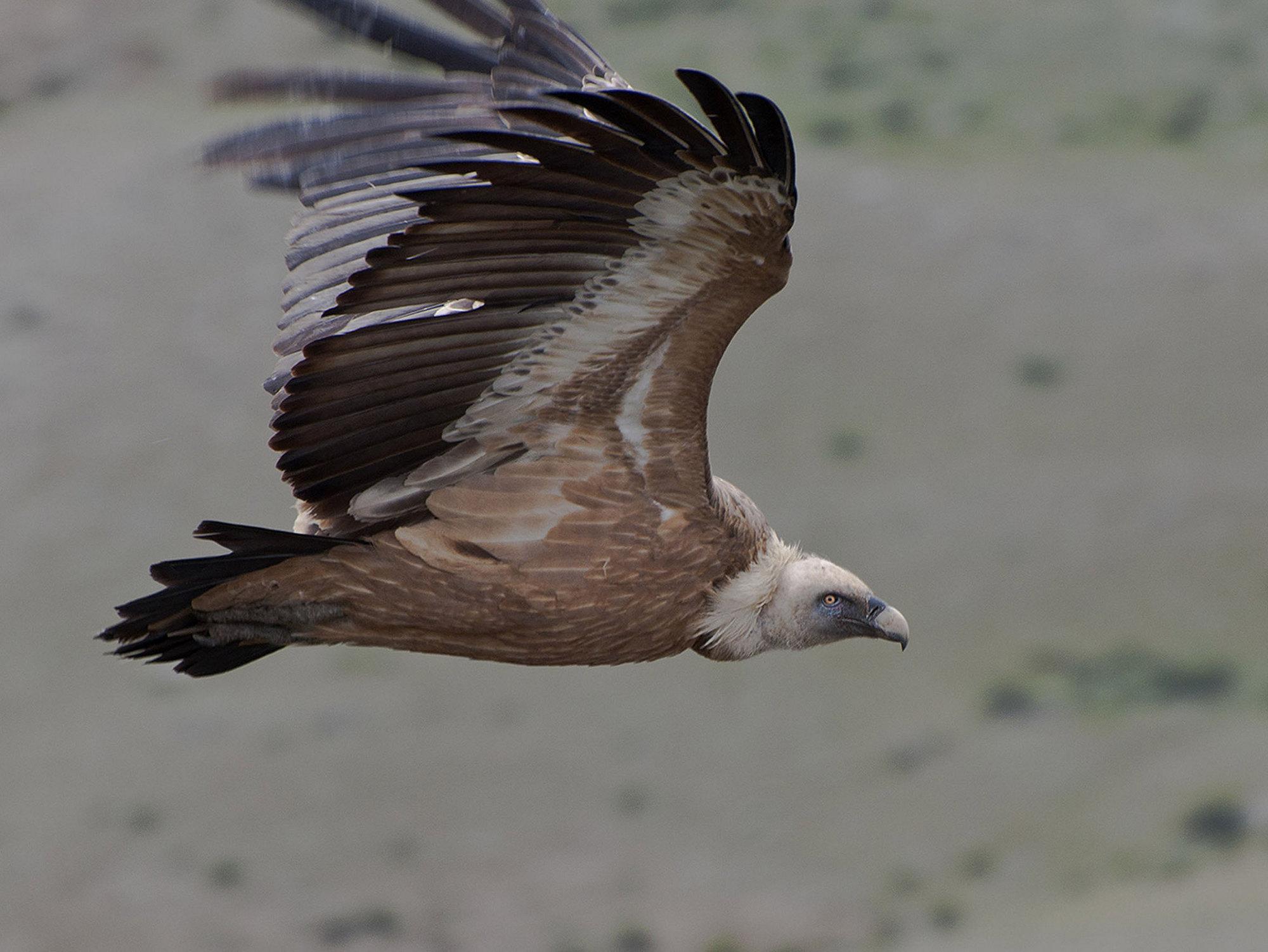 """фото """"Полет сипа"""" метки: природа, дикие животные"""