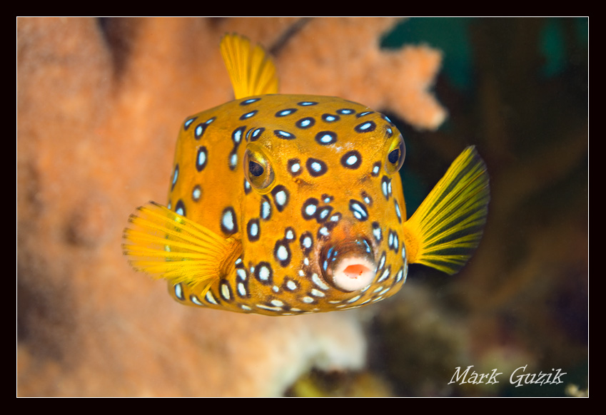 "photo ""Cube boxfish"" tags: underwater,"