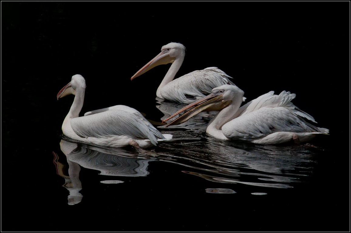 "photo ""pelicans"" tags: nature, wild animals"