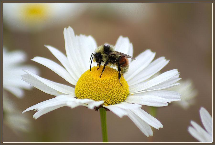 """фото """"Мохнатый шмель"""" метки: природа, насекомое, цветы"""