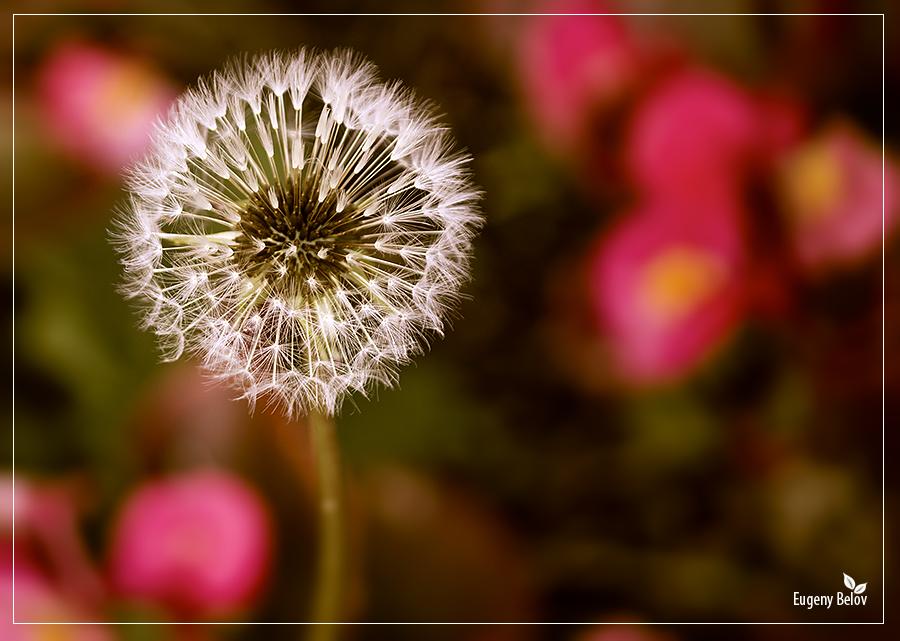 """фото """"Одуван"""" метки: природа, цветы"""