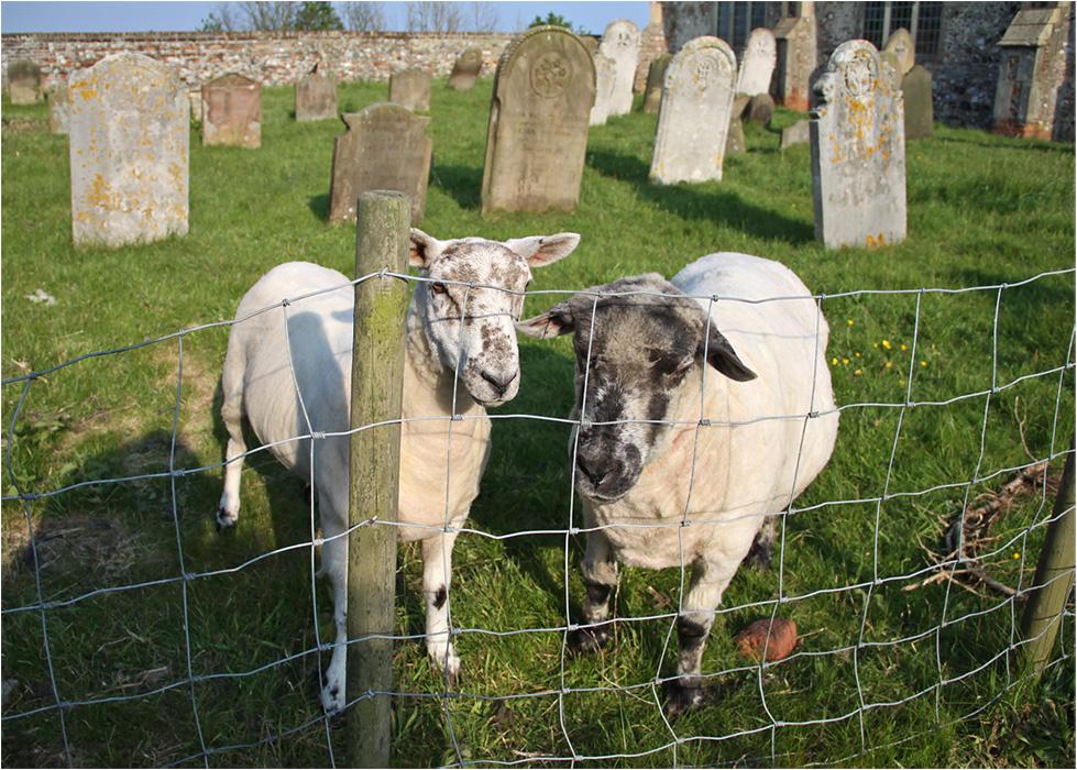 """фото """"Там, где сочная трава..."""" метки: природа, репортаж, домашние животные, овцы"""