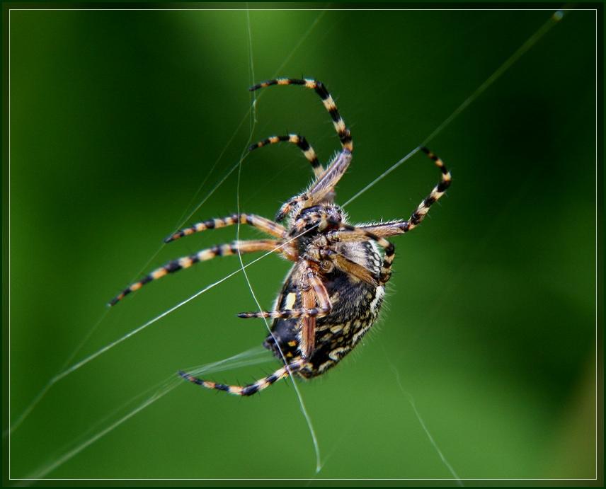 """фото """"Пряха"""" метки: природа, макро и крупный план, насекомое"""