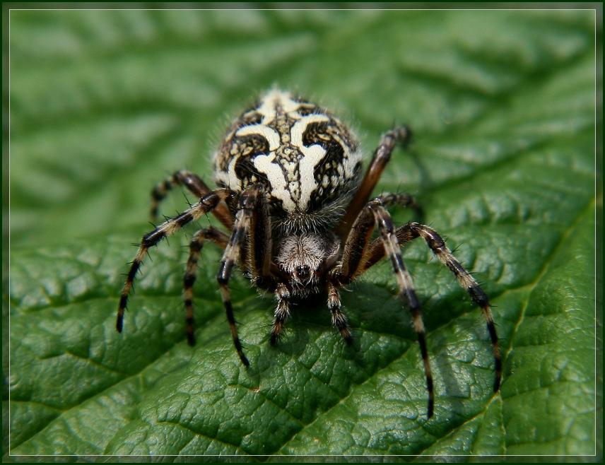 """фото """"Паучишка"""" метки: природа, макро и крупный план, насекомое"""