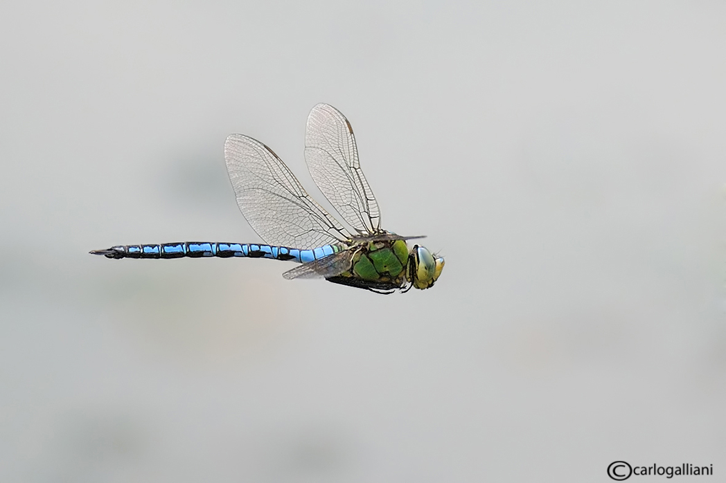 "photo ""Anax imperator"" tags: nature, insect"