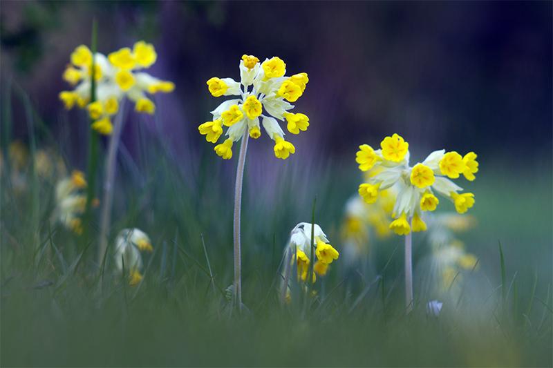 """фото """"Первоцветы"""" метки: природа, цветы"""