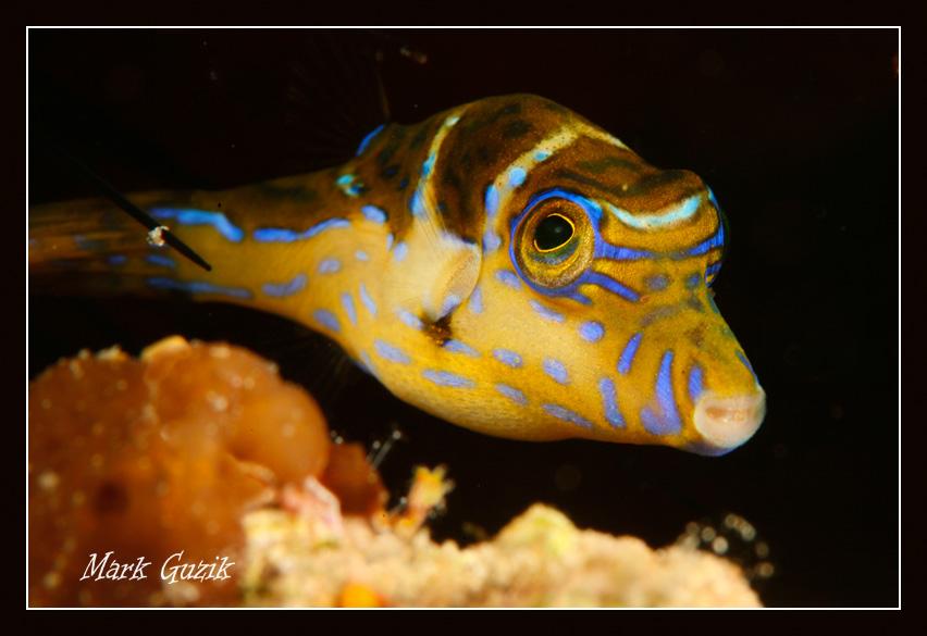 """фото """"Puffer fish"""" метки: подводные,"""