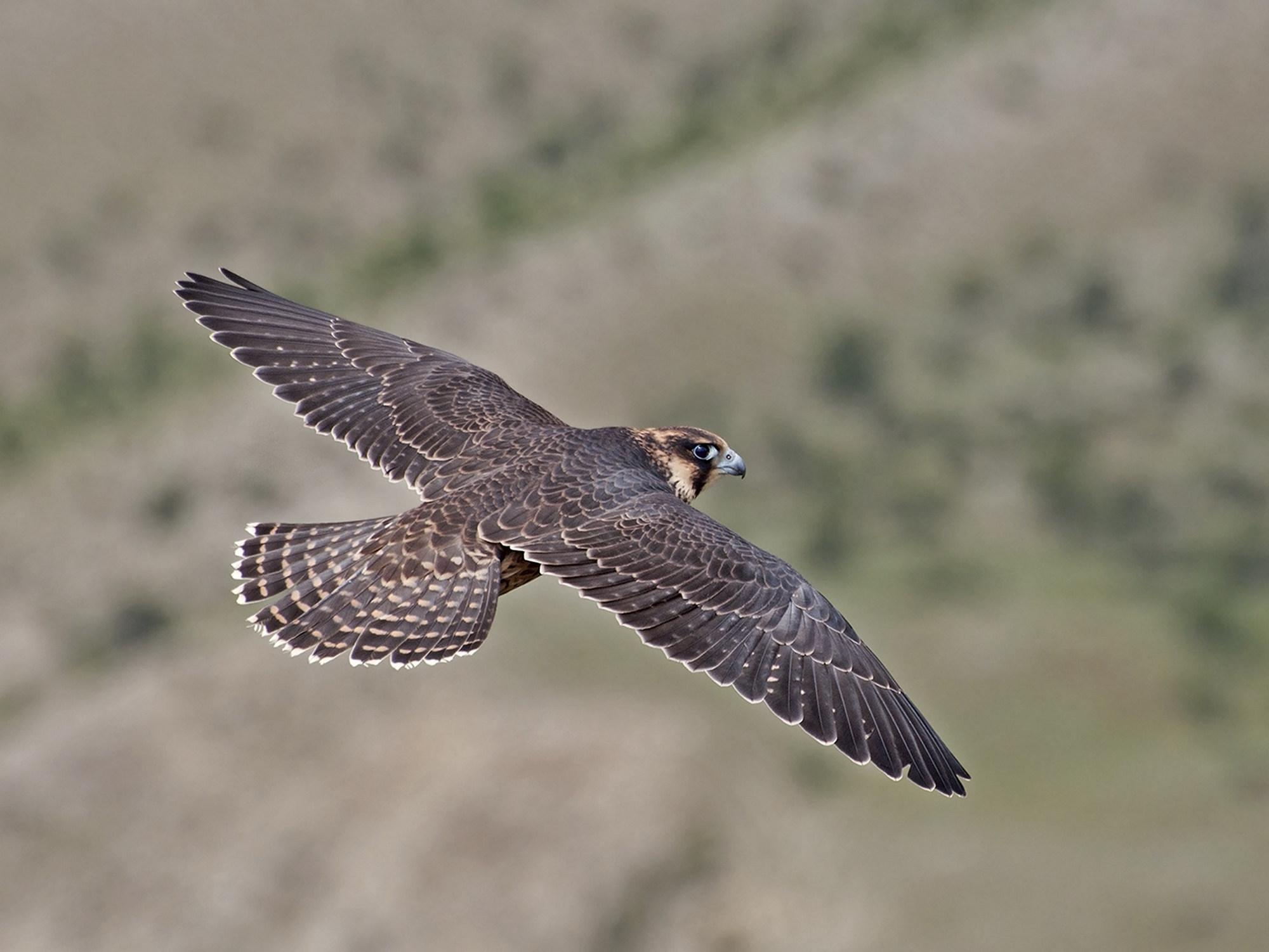 """фото """"Полет сокола"""" метки: природа, дикие животные"""