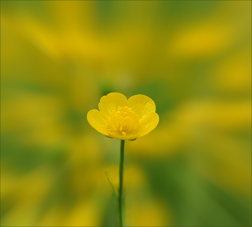 "photo ""Buttercup"" tags: nature, flowers"