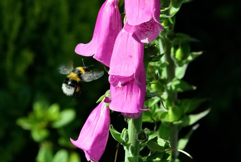 "фото ""white tailed bumble bee"" метки: природа, насекомое"