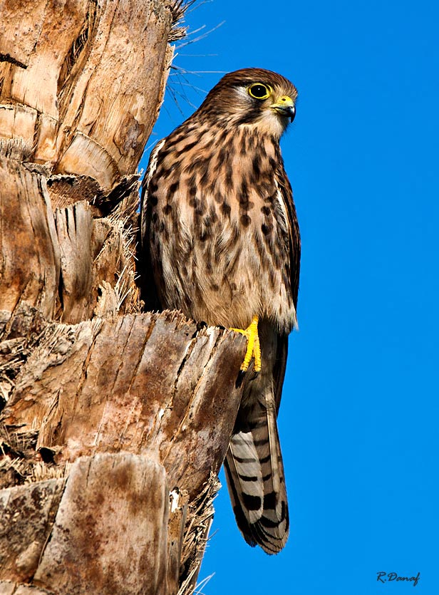 "photo ""Falcon"" tags: travel, nature, Africa, wild animals"