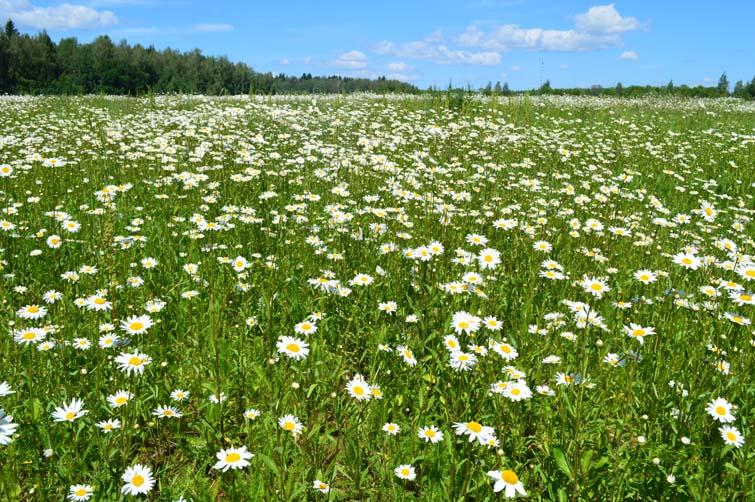"photo ""Природа ромашкиполе, maslennikov maslennikov dimitryu obninsk  Масленников Масленников Дмитрий"" tags: landscape, summer"