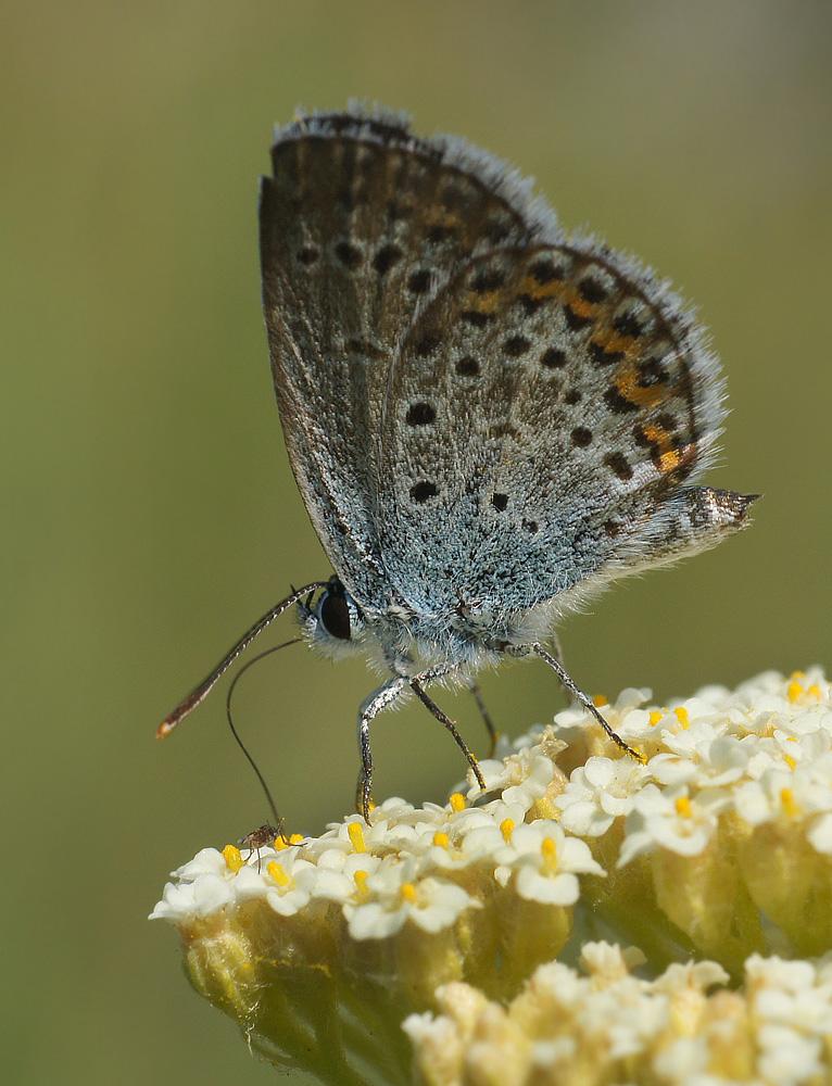 """фото """"Прокати меня, большааая бабочка"""" метки: макро и крупный план, природа, насекомое"""
