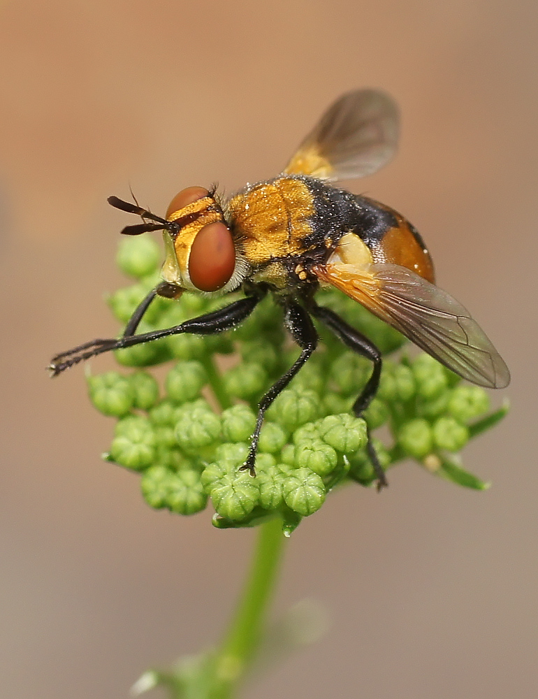 "photo ""макро,ежемуха"" tags: macro and close-up, nature, insect"